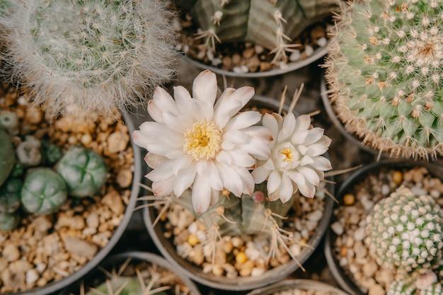 선인장 꽃의 상위 뷰, 흰 꽃과 함께 gymnocalycium mihanovichii는 냄비, 즙이 많은, 선인장, 선인장과, 나무, 가뭄에 강한 식물에 피고 있습니다.