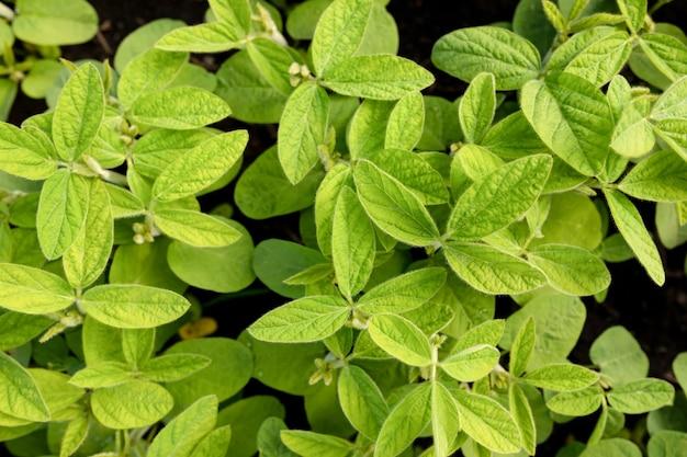 어린 콩의 깨끗한 잎의 꼭대기. 농업 주제에 자연 식물 배경입니다.