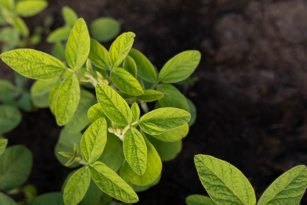깨끗한 어린 콩 잎과 검은 흙의 꼭대기. 농업 주제에 자연 식물 배경입니다. 유전자 변형 또는 농장을 위한 실험 분야. 복사 공간