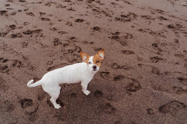 Взгляд сверху милой малой собаки терьера рассела jack на пляже улавливая очень вкусные обслуживания.