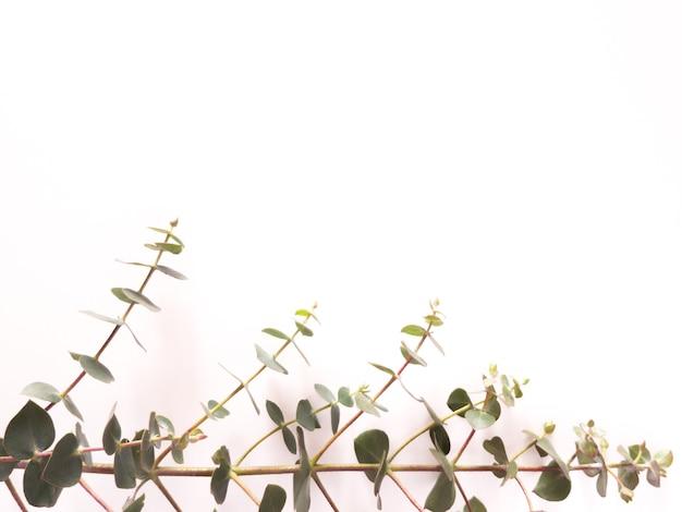 ユーカリグニー緑の葉フレームの上面図は、白い背景で隔離