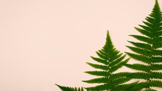 고 사리의 상위 뷰 복사 공간 나뭇잎