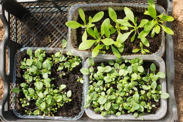 土壌に植える準備ができているプラスチックの箱の中の花の苗の上面図。ガーデニングとfarmincの概念。