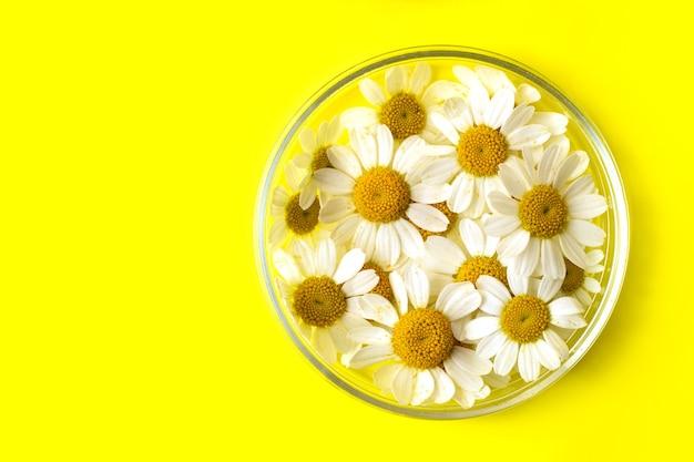 페트리 접시에 있는 신선한 카모마일의 상위 뷰밝은 노란색 배경여름 배너로 좋습니다.