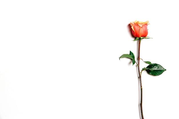 コピースペースと白い背景の上の新鮮なバラの上面図