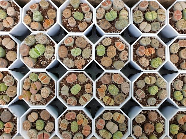 Литопсы в горшках, вид сверху литопсы - это род суккулентов, напоминающих гальку или камень.