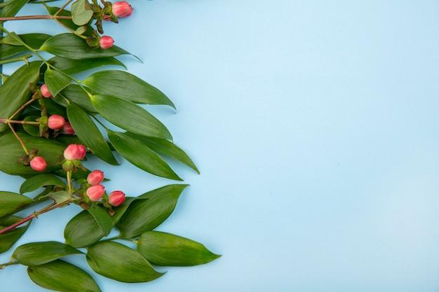 Вид сверху прекрасных ягод зверобоя с листьями на синей поверхности