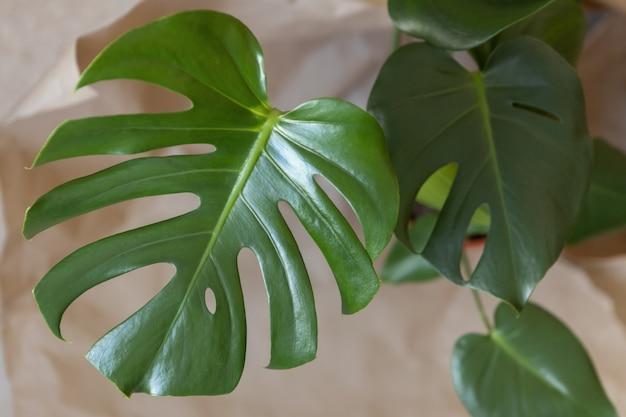 Monstera 진미의 최고 볼 수 있습니다. 신선한 녹색의 클로즈업은 베이지 색에 나뭇잎. 가정 식물 관리 개념, 도시 정글, 자연적인 가정 실내 장식, 취미. 소프트 선택적 초점. 수평.
