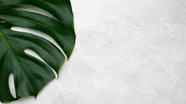 복사 공간 monstera 잎의 상위 뷰