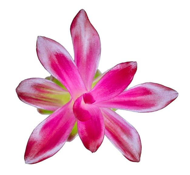 分離されたピンクのウコンの花の上面図