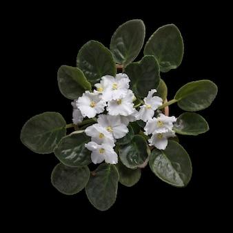 검은 배경에 고립 된 흰색 꽃 화분에 심은 아프리카 바이올렛의 상위 뷰.