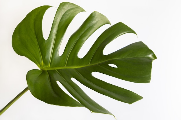 Вид сверху настоящего монстера деликатес. крупным планом зеленых свежих листьев