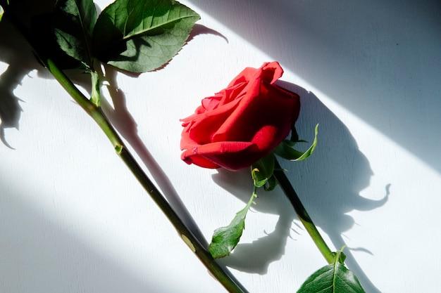 Вид сверху красных цветных роз на белом фоне