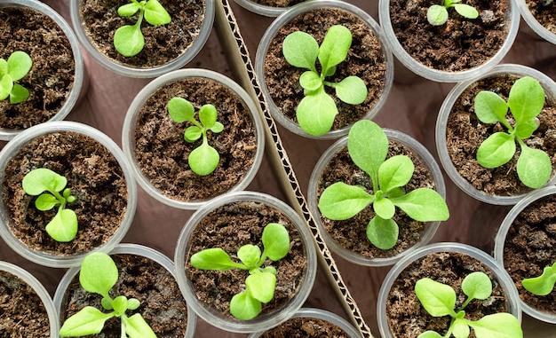 Вид сверху набора молодых саженцев цветов в небольших пластиковых горшках