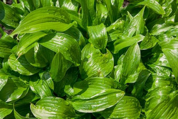 비 후 방울과 봄 녹색 잎의 상위 뷰