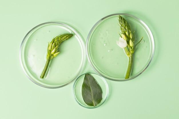 透明なジェルが入ったペトリ皿の上面図。新鮮な緑の葉と葉が入っています。研究のコンセプトと化粧品の準備。