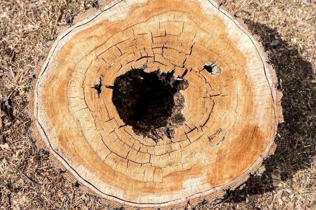 Вид сверху на пень старой лиственницы рисунок и фактура поперечного сечения дерева