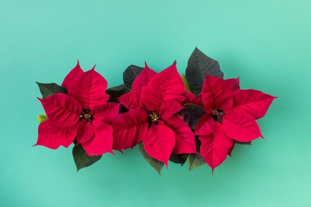 Вид сверху трех рождественских красных цветочных горшков пуансеттии на мятно-зеленой поверхности