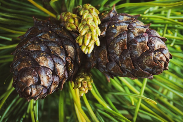 Вид сверху на две шишки вечнозеленой сосны сибирской карликовой (pinus pumila). крупным планом естественный цветочный фон, рождественское настроение. винтажный мгновенный цветной фотоэффект, красочная картинка с тонированным фильтром.