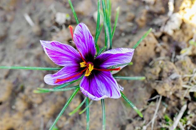 땅에서 자라는 보라색 사프란 꽃의 꼭대기.