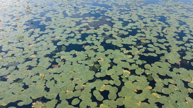 日本の池の白い花と睡蓮のトップビュー