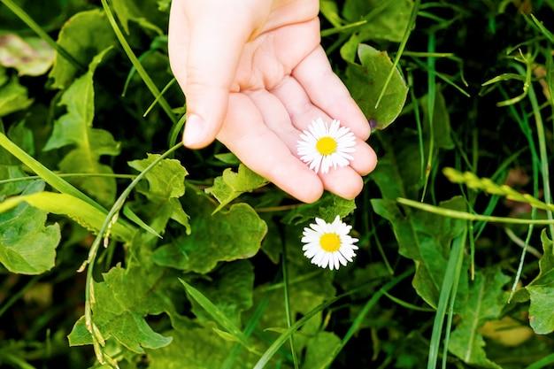 Вид сверху белой ромашки или цветка ромашки в маленькой руке ребенка в траве.
