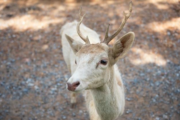 Вид сверху белого оленя или оленя с рогом в зоопарке.
