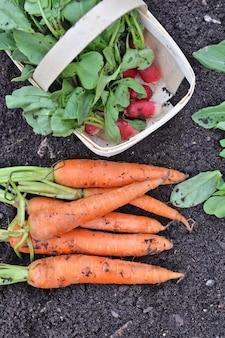 Вид сверху на органическую морковь и редис на только что собранной в саду почве