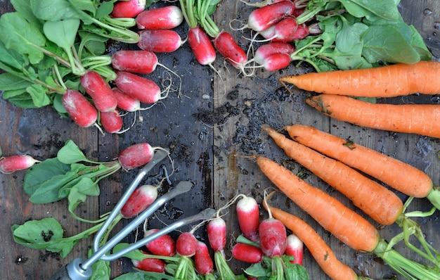 Вид сверху на органическую грязную морковь и редис, недавно собранную в саду и положенную на доску с небольшими граблями