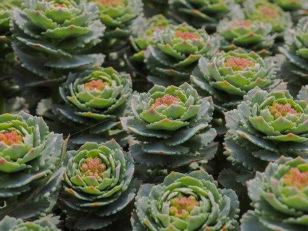 ピンクのアクセントの抽象的な花の背景を持つ緑の多肉植物の花の上面図