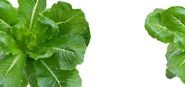 Top view of organic vegetable green cos lettuce on white background.