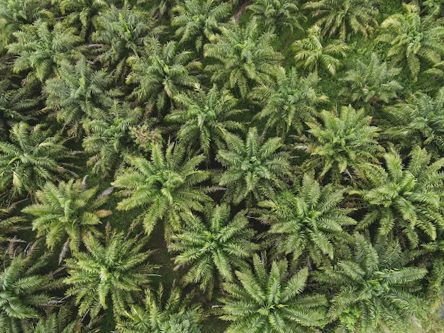 Вид сверху пальмовых листьев сверху сельскохозяйственных культур в зеленом, с высоты птичьего полета, вид с высоты птичьего полета на пальмовое дерево, зеленые поля, природа, сельскохозяйственная ферма, фон