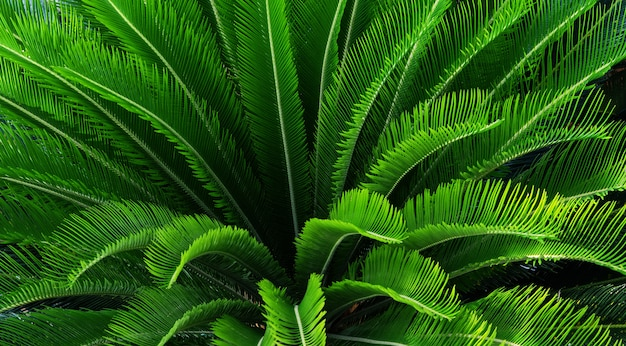 Top view palm leaves tropical background.close up