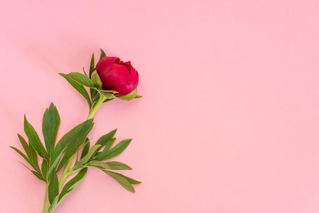 Top view of peonies flowers on pink