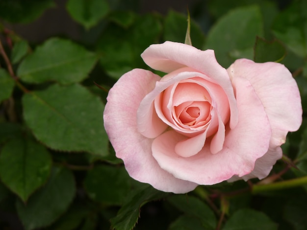 Top view of pink rose on a background of its leaves