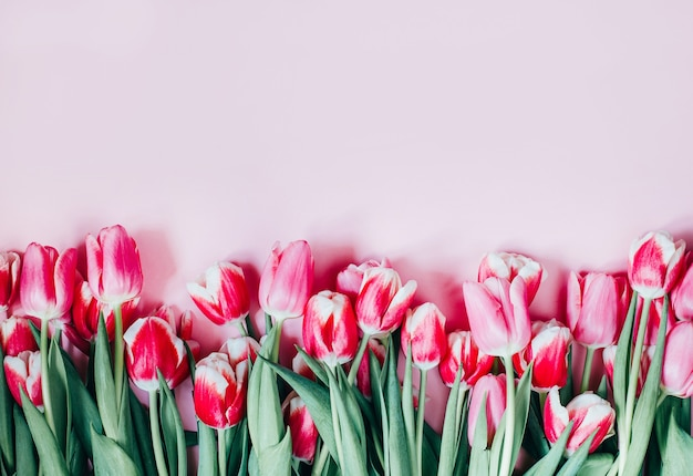Top view of pink tulips on pink surface