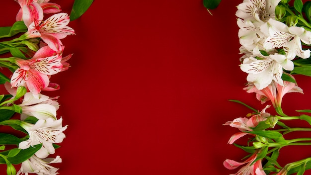 Top view of pink and white color alstroemeria flowers isolated on red background with copy space