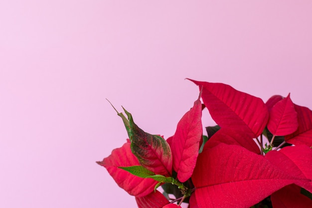 Top view on the poinsettia on pink wall, also known as christmas flower, christmas floral decoration, red and green foliage