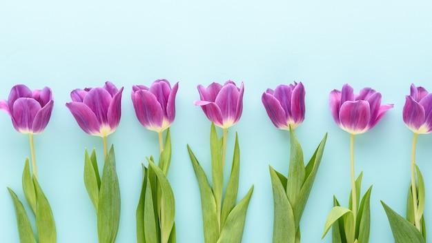 青い背景、花の背景の概念の行に紫色のチューリップの上面図