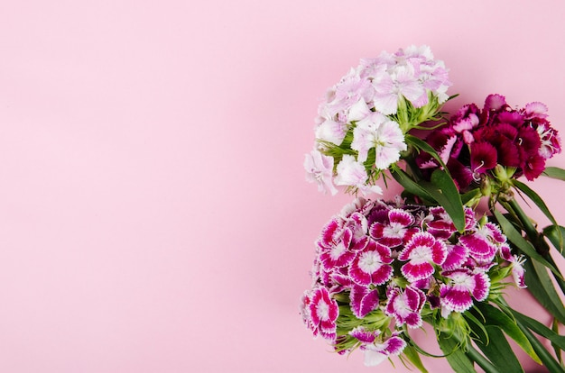 Top view of purple and white color sweet william or turkish carnation flowers isolated on pink background with copy space