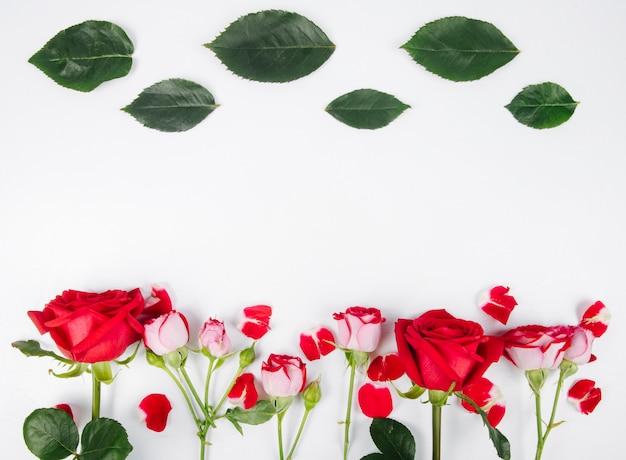 Vista superiore delle rose di colore rosso con le foglie verdi isolate sul fondo del briciolo con lo spazio della copia