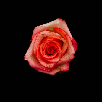 Top view of a rose