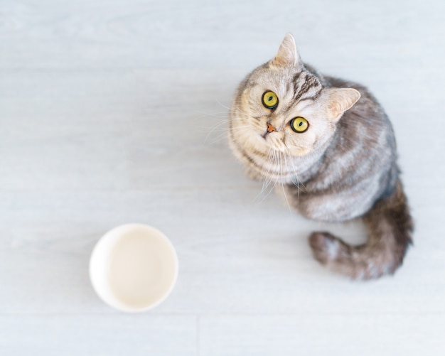 Вид сверху голодная шотландская кошка хочет съесть жалобно выглядящий котенок сидит на полу кухни и