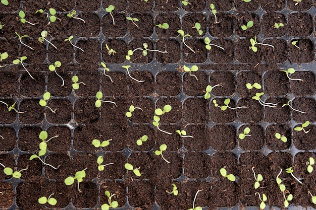 Top view of seedlings with green leaf growing in planting tray