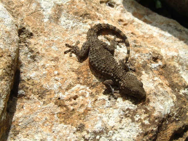 Top view shot of a moorish gecko on a rock on a sunny day