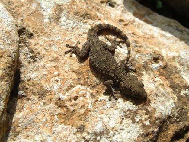 Мавританский геккон на скале в солнечный день, вид сверху