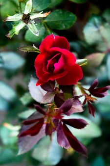 Top view of a small red rose