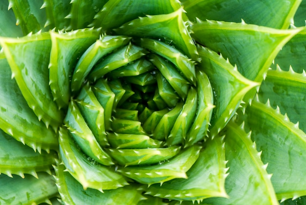 Top view of spiral aloe.aloe polyphylla closeup wiew.