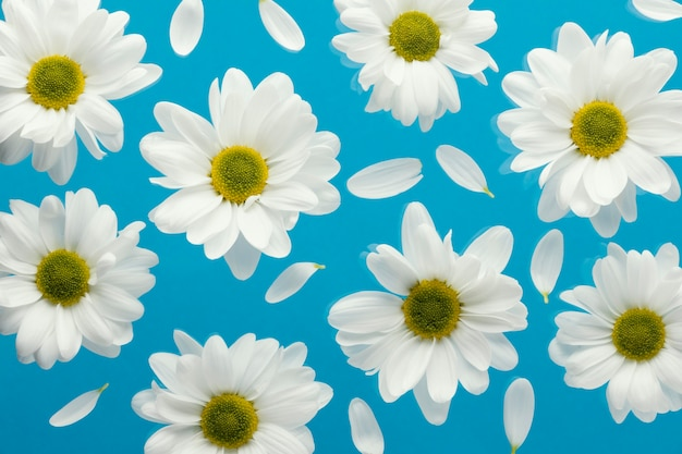 Top view of spring daisies with petals