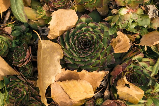 A top view of the succulent, surrounded by fallen autumn leaves.